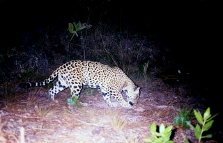 Jaguar_mexique