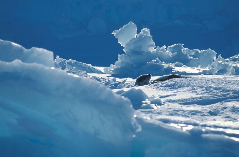 Phoque_sur_la_banquise_antarctique