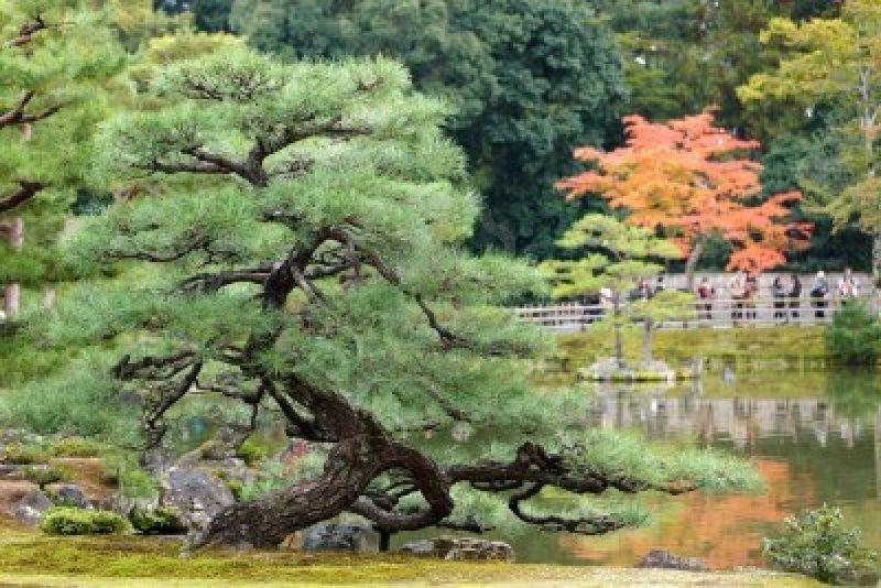 12946386-pin-tordu-dans-le-jardin-zen-japonais-kyoto