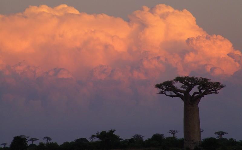 Baobab_sous_nuage_rose