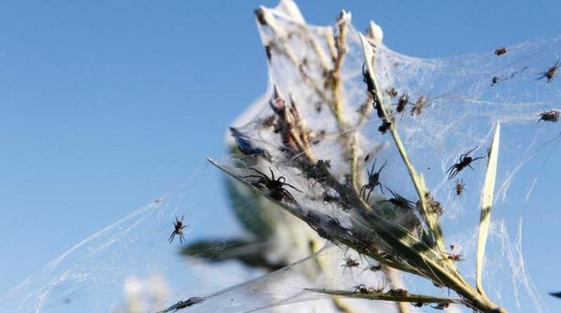 Arañas-australia